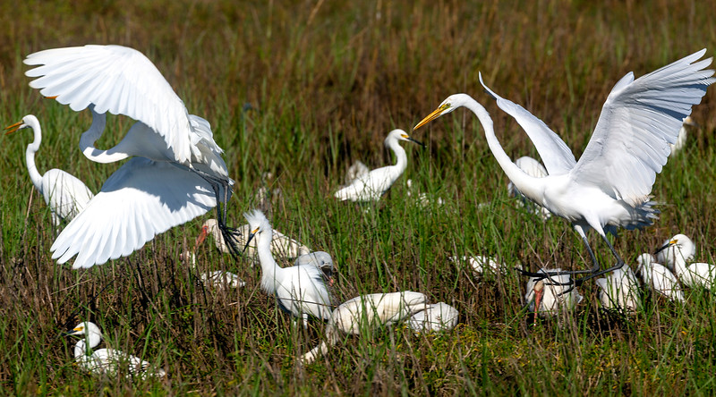 Two Great Egrets make a demonstrative landing among other birds.