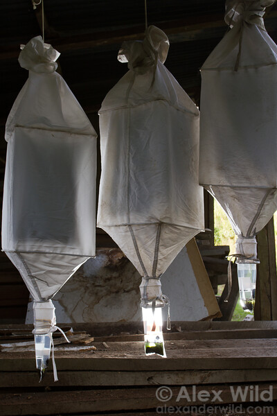 Winkler extraction bags hang in Kibale forest, Uganda. Each contains several mesh sacks filled with leaf litter sifted from the forest. Arthropods walking about in the litter fall out and collect in plastic bags full of ethanol.   This method has proven highly productive for sampling the cryptic rainforest micro-fauna, resulting in hundreds of new species.