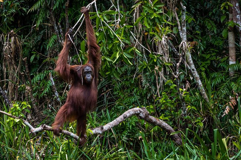 Adult Male Orangutan