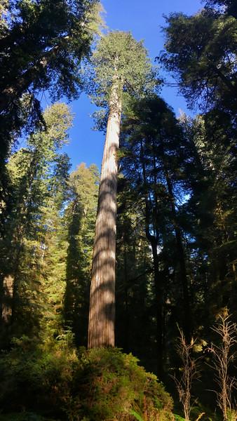 Boy Scout Tree Trail, Jedediah Smith Redwoods State Park