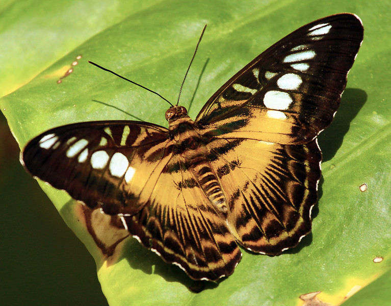 An especially elegant butterfly