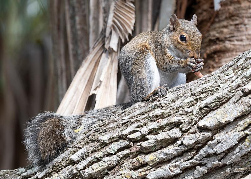 Eastern Grey Squirrel, Fort de Soto, FL, US, May 2018-4.jpg