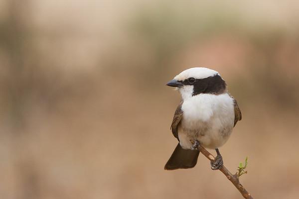 White-rumped Shrike