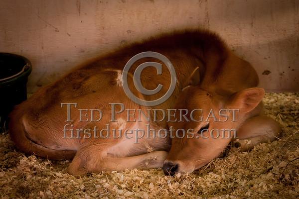 Topsfield Fair 2010 - Livestock
