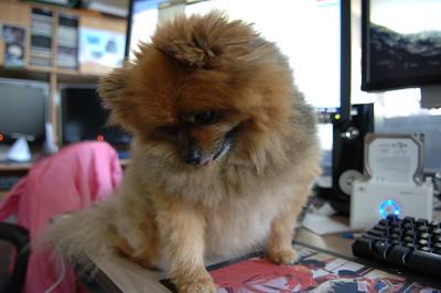 Kita Pomeranian