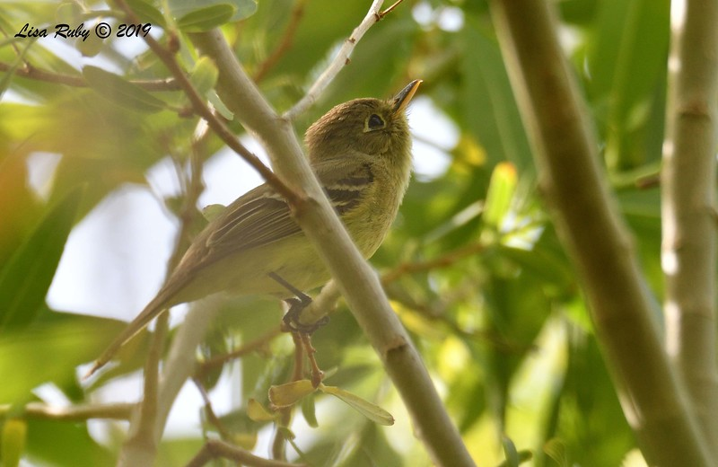 Pacific-slope Flycatcher  - 4/14/2019 - Agua Caliente County Park Campground