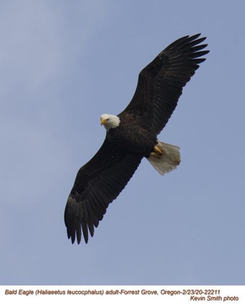 Bald Eagle A22211.jpg