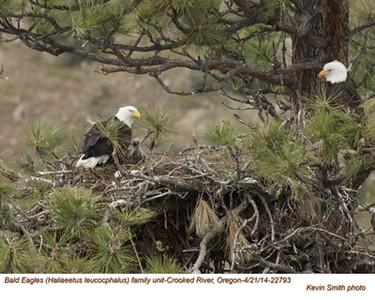 Bald Eagles Family 22793.jpg