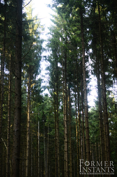 Tall Trees of Ardennes