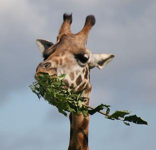 Rothman's Giraffe