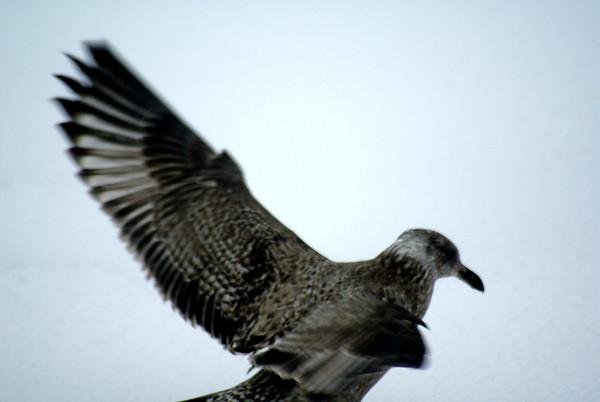 Winter Boston Snowgulls