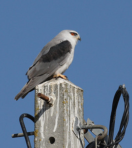 Liitohaukka ( Black-shouldered Kite)