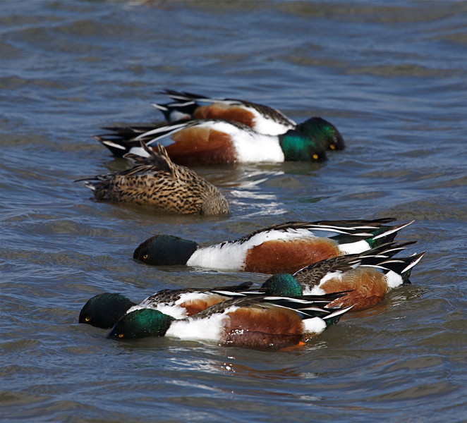 Typical feeding behavior for Northern Shovelers.  The group will often rotate together, resembling a pinwheel.