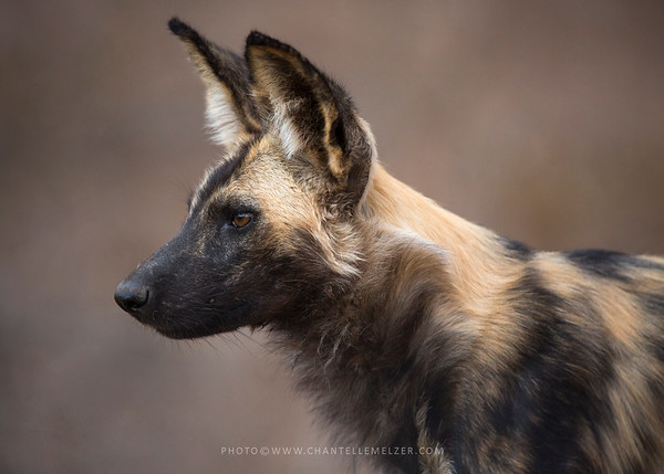WILDLIFE | A day with the painted dog