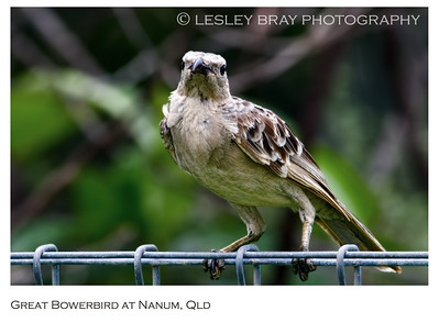 Bowerbirds & Catbirds