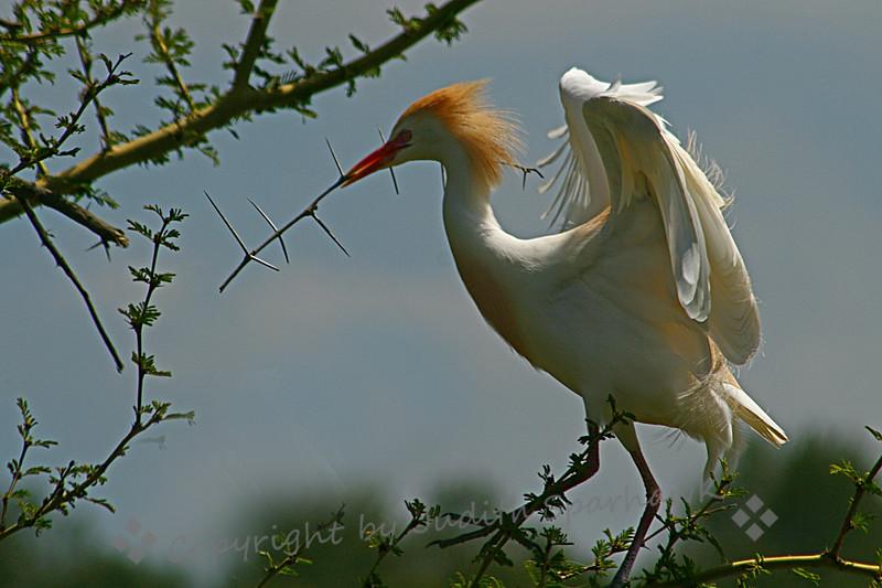 Cattle Egret Nesting3.jpg