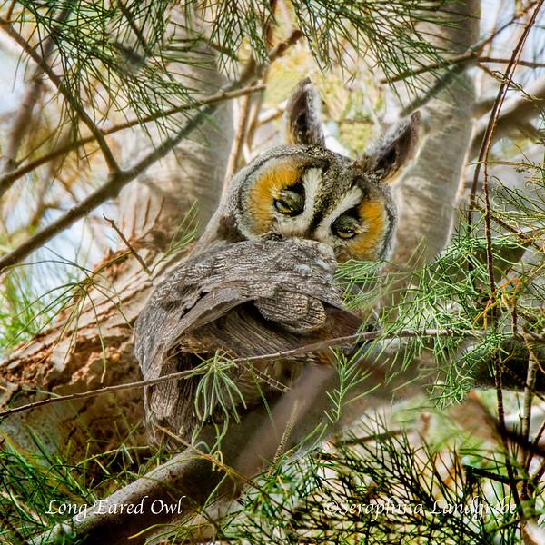 _DSC2615Sleepy Long Eared OwlC.jpg