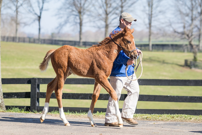 Ironicus - Lookin' For Indy '18 at Sheltowee 4.11.18. Born 2/23/18.