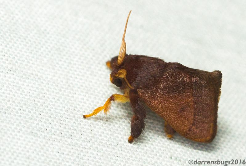 Slug caterpillar moth (Limacodidae) from Panama.