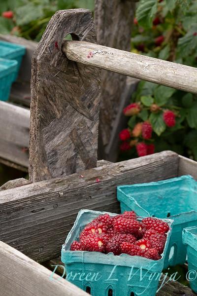 Raspberries picked in blue boxes_5387.jpg