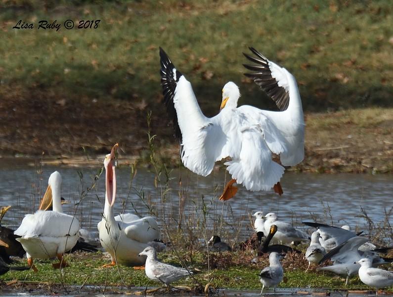 White Pelicans - 1/14/2018 - Lindo Lake