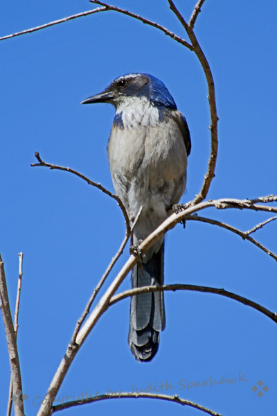 Scrub Jay ~ This common jay of the west was photographed in San Timoteo Canyon near Redlands, California.
