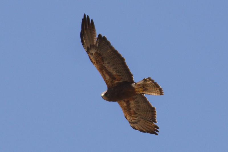 Swainson's Hawk dark morph adult (5) at Firebaugh, CA (07-18-2009)
