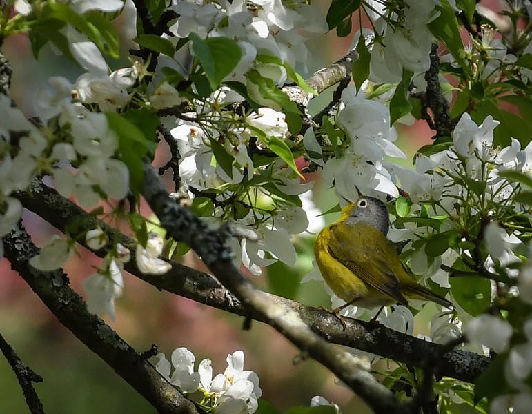 500_2638 Connecticut Warbler male.jpg