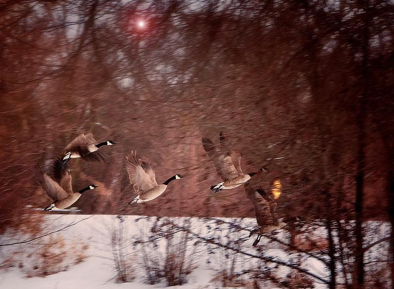 Geese flight.jpg