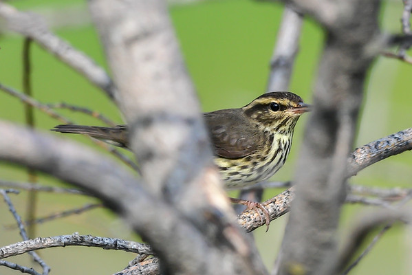 8-31-16 *^Northern Waterthrush