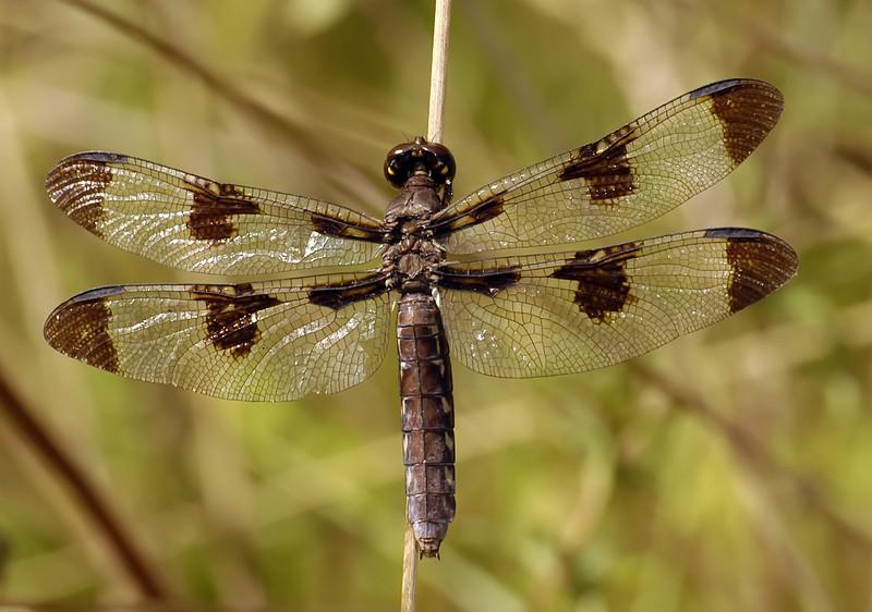 Plathemis lydia (Common Whitetail), GA - female