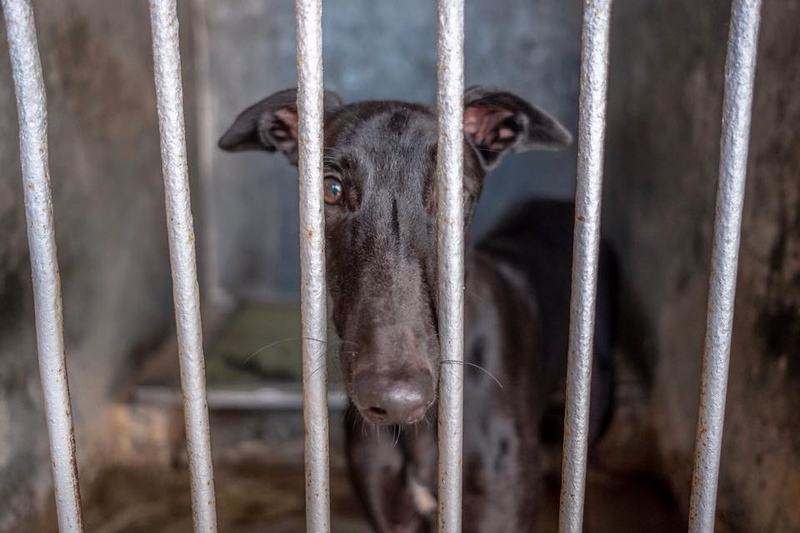 A greyhound in its cell at the  infamous Canidrome, in Macau, China. The Canidrome closed in July 2018 and over 600 dogs are being shipped to rescues in Europe and America. The dogs are crated in Macau, transported to the airport in Hong Kong, flown to Frankfurt, Germany, transferred to another plane and then flown to Miami International Airport, where they pass through customs and eventually get picked up by Sonia Stratemann of Elite Greyhound Adoptions to start their new lives. Image captured on  Wednesday January 23, 2019 at Elite Greyhound Adoptions in Loxahatchee, Florida. [Photo provided by Save the Macau Greyhounds]