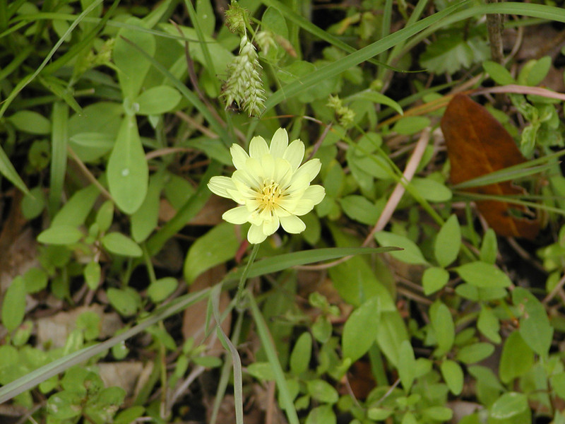 Pyrrhopappus multicaulis (pauciflorus) - Texas Dandelion