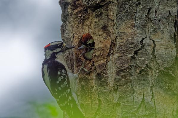 The Downy Woodpecker Family