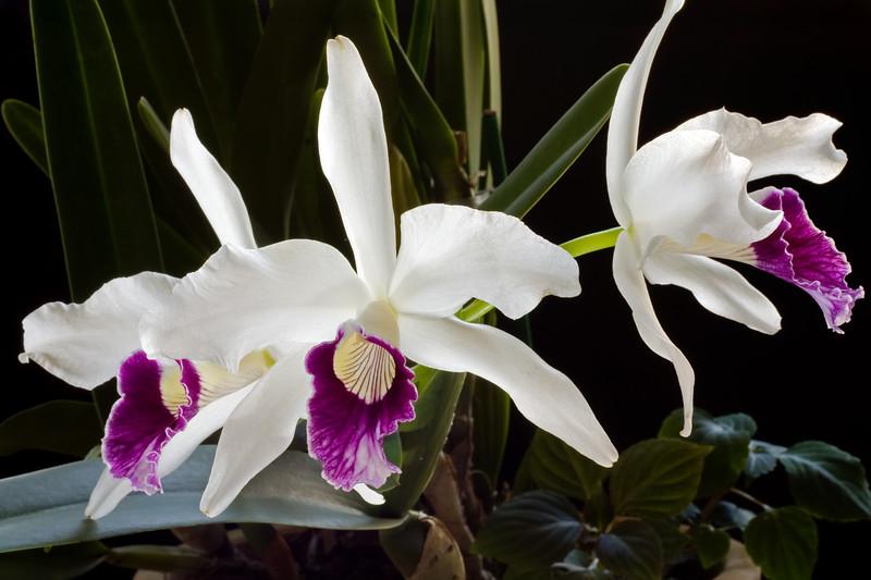Brasilaelia purpurata (Laelia)