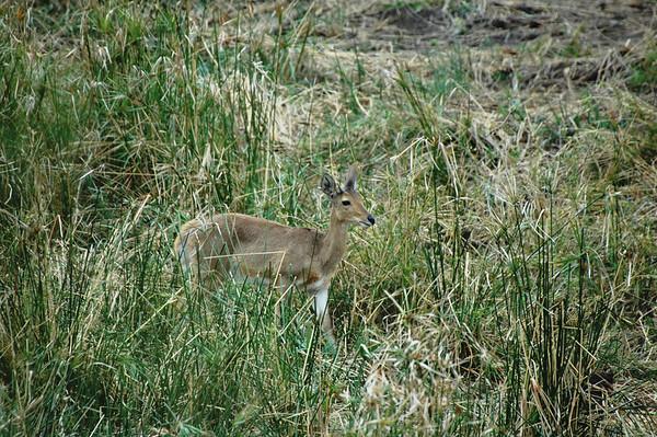 Kruger Reedbuck