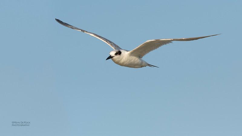 Foster's Tern, Fort De Soto, St Petersburg, FL, USA, May 2018-2.jpg