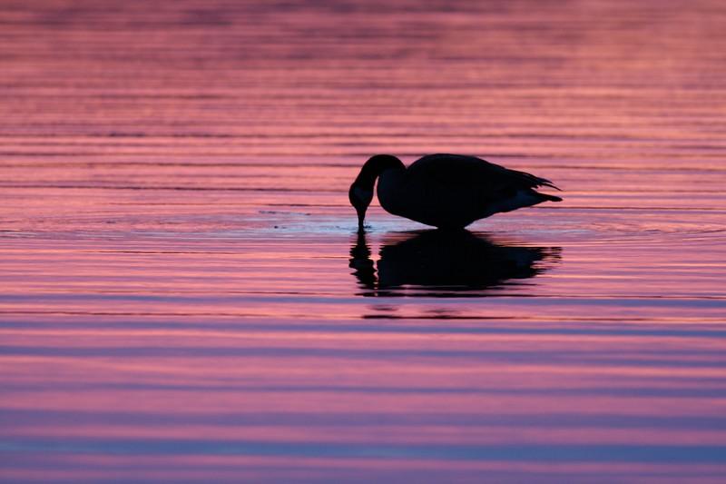 Canada Goose sunset [April; Park Point, Duluth, MN]Canada Goose sunset [April; Park Point, Duluth, MN]