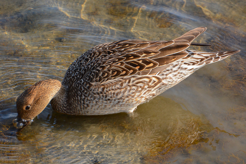Northern Pintail Hen