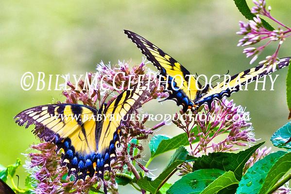 Butterflies - 29 Jul 10