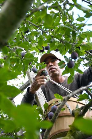 Picking plums at Jaeschke's