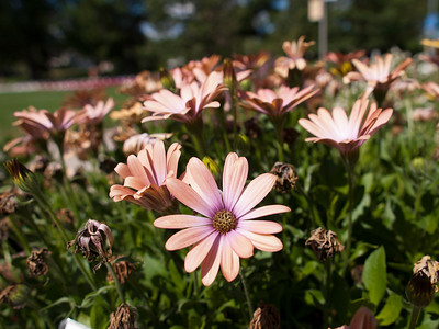 Osteospermum - Serenity Peach Magic
