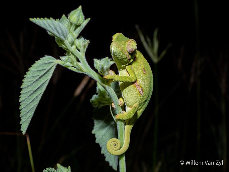 20200309 Flap-necked Chameleon (Chamaeleo dilepis) from KwaZulu-Natal