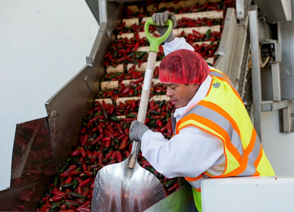 . Employee Victor Avila pushes the chilies down the hopper machine during chili grinding process at Huy Fong Foods in Irwindale on Friday, August 22, 2014. (Photo by Watchara Phomicinda/ Pasadena Star-News)