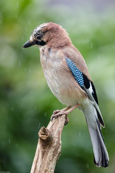 Wet Jay