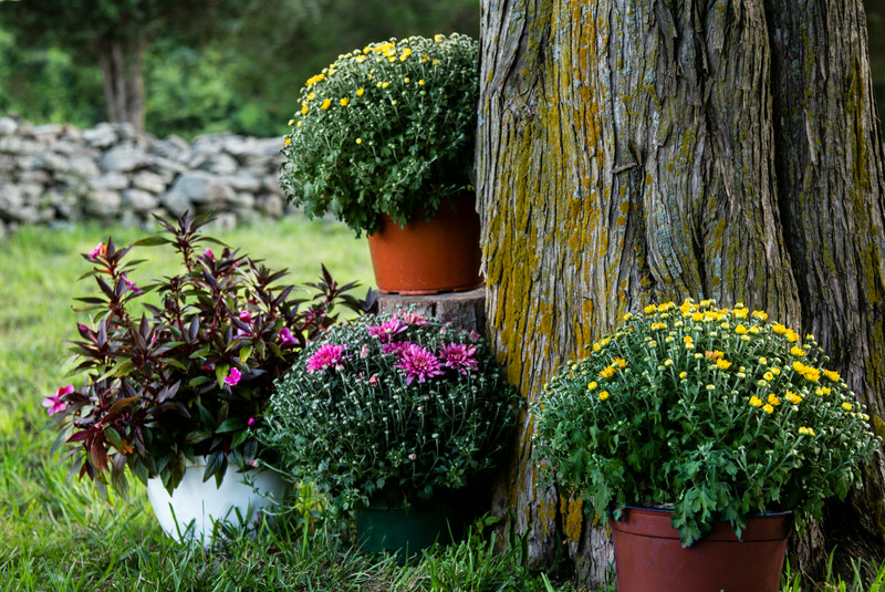 Mums for ambience!