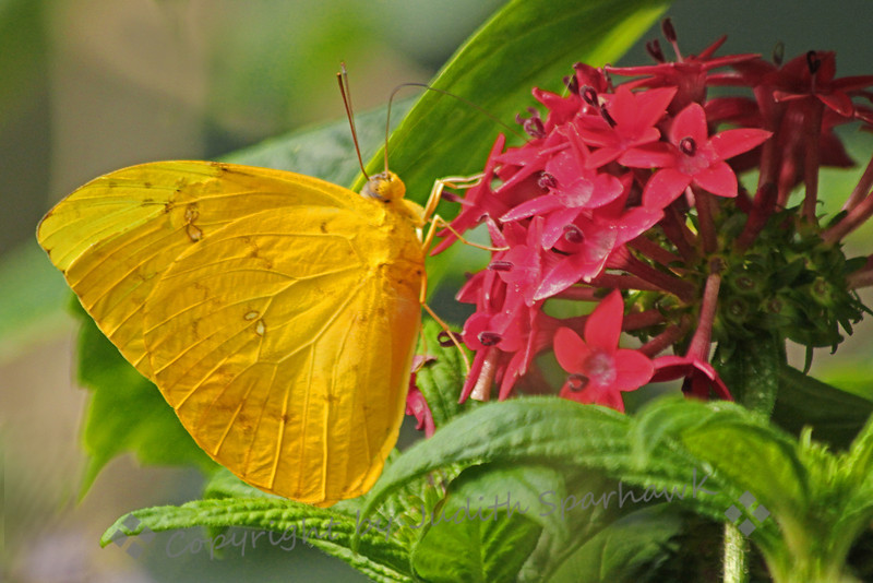 Orange-Barred Sulphur Butterfly ~ This very pretty yellow butterfly lives mostly in Florida, but ranges across the southern US, including the southwest and even southern California.