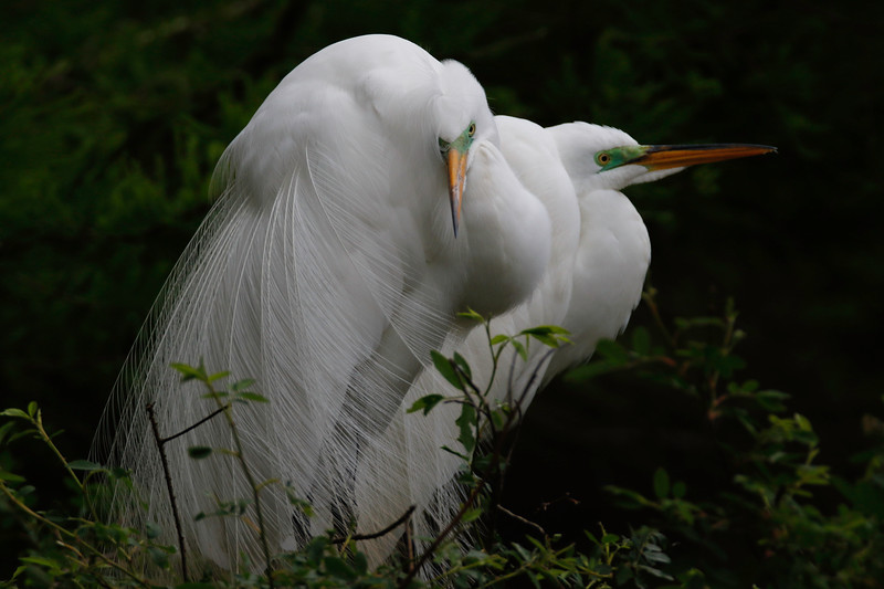 Great Egret Green Face Duo.jpg