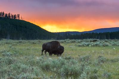 Bison / Buffalo