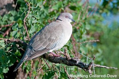 Mourning Collared-Dove, Kenya
